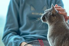 A girl stroking her British shorthair cat at home royalty free stock photo