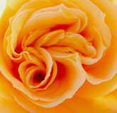 Warm rose Stock Images
