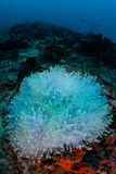 Bleached Anemone in Tropical Pacific Ocean. Warm sea temperatures have caused an anemone to bleach on a reef in Indonesia. Bleaching occurs when anemones and royalty free stock photo