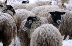 Warm sheep in the winter cold Royalty Free Stock Photo