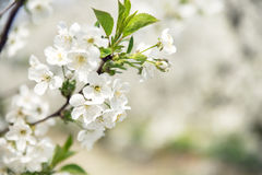 Warm spring in the apple orchard Royalty Free Stock Photography