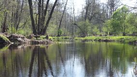 Forest river with reflection of trees without leaves in water. Warm spring on the forest river with reflection of trees without leaves in water stock video