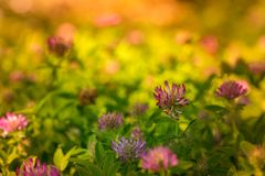 Clover flowers in a fields in color stock image