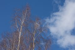 The warm spring morning. Tree branches against the sky stock image