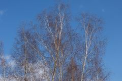 The warm spring morning. Tree branches against the sky royalty free stock photography
