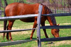 Warm spring weather for this horse. The chestnut colored horse eating on a spring day Royalty Free Stock Photos