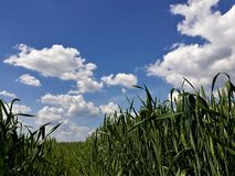 Green wheat field and beautiful cloudy sky stock photography