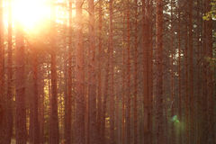 Warm summer sunset in pine forest Royalty Free Stock Photography