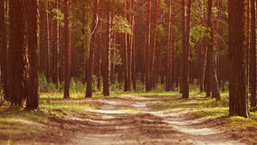 Warm summer sunset in pine forest Royalty Free Stock Photos