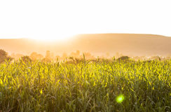 Warm summer wheat, paddy fields. Warm and hot summer golden fields of wheat, rice or paddy. Sun shining with lens flares and copy space stock image