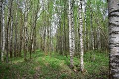 Warm summer white birches, oaks adorn the trail, thick lush grass green carpet growing. Underfoot royalty free stock images