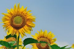 Warm with sunflower morning. Stock Images