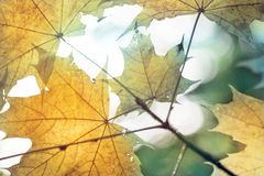Warm sunrays pass through yellow maple leaves. Beautiful autumn background. Vibrant abstract fall forest view.  royalty free stock photo