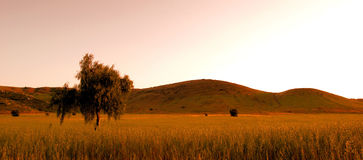 Warm Sunset. Lone tree in Field At Sunset in Poway California royalty free stock photo