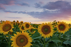 Warm sunset light and sunflower field Stock Image