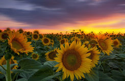 Warm sunset light and sunflower field Stock Photo