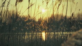 Warm Sunset Pond With Plume Reeds stock footage