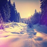 Warm sunset at winter forest. snow covered pine tree glowing in sunlightn. Warm sunset at winter forest. snow covered pine tree glowing in sunlight. picturesque Royalty Free Stock Photos