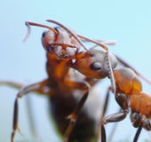 Warm and tender greetings of ants. Tender greetings of ants formica rufa Royalty Free Stock Images