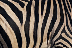 Warm texture of zebra skin Stock Image