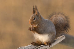 Warm toned squirrel Stock Photo