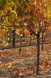 Warm Vineyard. Fall colors take over vineyards in Wine Country Royalty Free Stock Photo