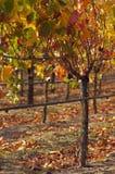 Warm Vineyard Royalty Free Stock Photo