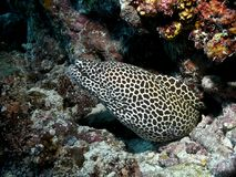 Murena in black-white spots of the species Gymnothorax favagineus. In the warm waters of Asdu Atoll in the Maldives, a large black-and-white moray eel faces its Royalty Free Stock Images
