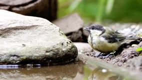 An coal tit. In this warm weather take this beautiful coal titi a shower stock footage