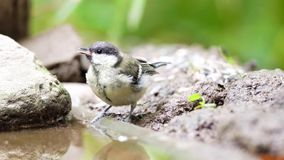 An coal tit. In this warm weather take this beautiful coal titi a shower stock video footage