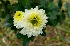 The warm white of autumn. Fall flowers in shades of white and yellow Royalty Free Stock Images