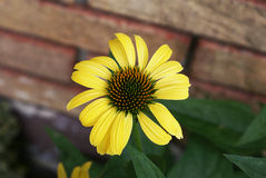Warm yellow flower with detailed orange and green center in fron Royalty Free Stock Photos