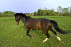 马warmblood 库存图片