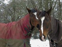 Warmblood e cavalos do puro-sangue que estão junto na neve Fotografia de Stock
