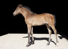 Warmblood foal black background royalty free stock images