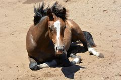 Warmblood foal resting Royalty Free Stock Images