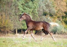 The warmblood foal runs on a meadow