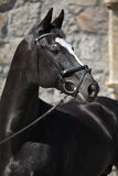 Warmblood holandês preto bonito com freio Fotografia de Stock Royalty Free