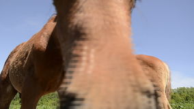 Warmblood horse foal touching the camera stock footage