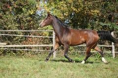 Warmblood horse running on pasturage Royalty Free Stock Photo