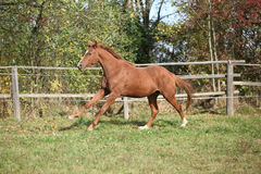 Warmblood horse running on pasturage Royalty Free Stock Photo
