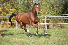 Warmblood horse running on pasturage Stock Photography