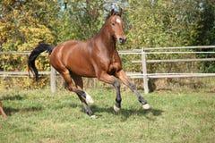 Warmblood horse running on pasturage Stock Photography