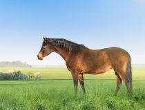 Warmblood horse on spring meadow Royalty Free Stock Photos