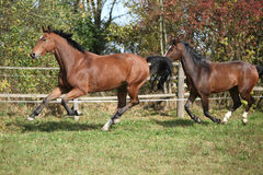 Warmblood horses running on pasturage Royalty Free Stock Images