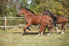 Warmblood horses running on pasturage Stock Photo