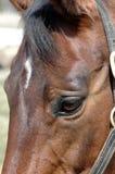 Warmblood mare. Close up of a kind, school master Dutch warmblood mare Royalty Free Stock Photo