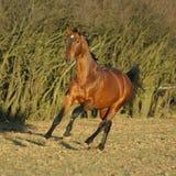 Warmblood marrón magnífico que corre por la tarde fotos de archivo libres de regalías