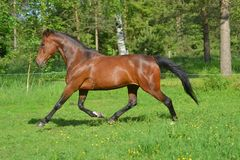 Warmblood trotting. Warmblood mare trotting at summer royalty free stock photos