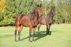2 warmbloods на pasturage осени Стоковое фото RF